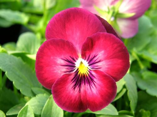 良く咲くスミレ カシス