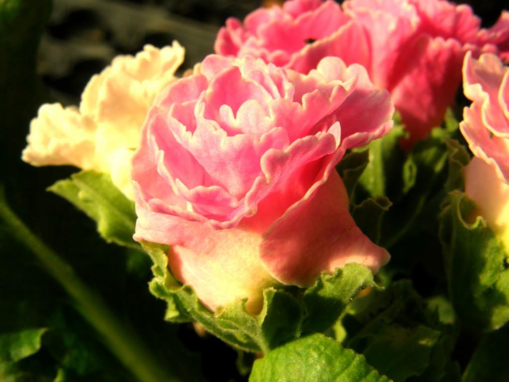 バラ咲きジュリアン2