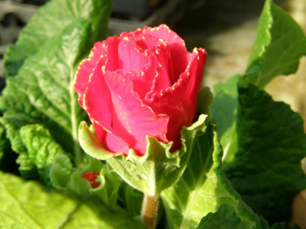 バラ咲きジュリアン1