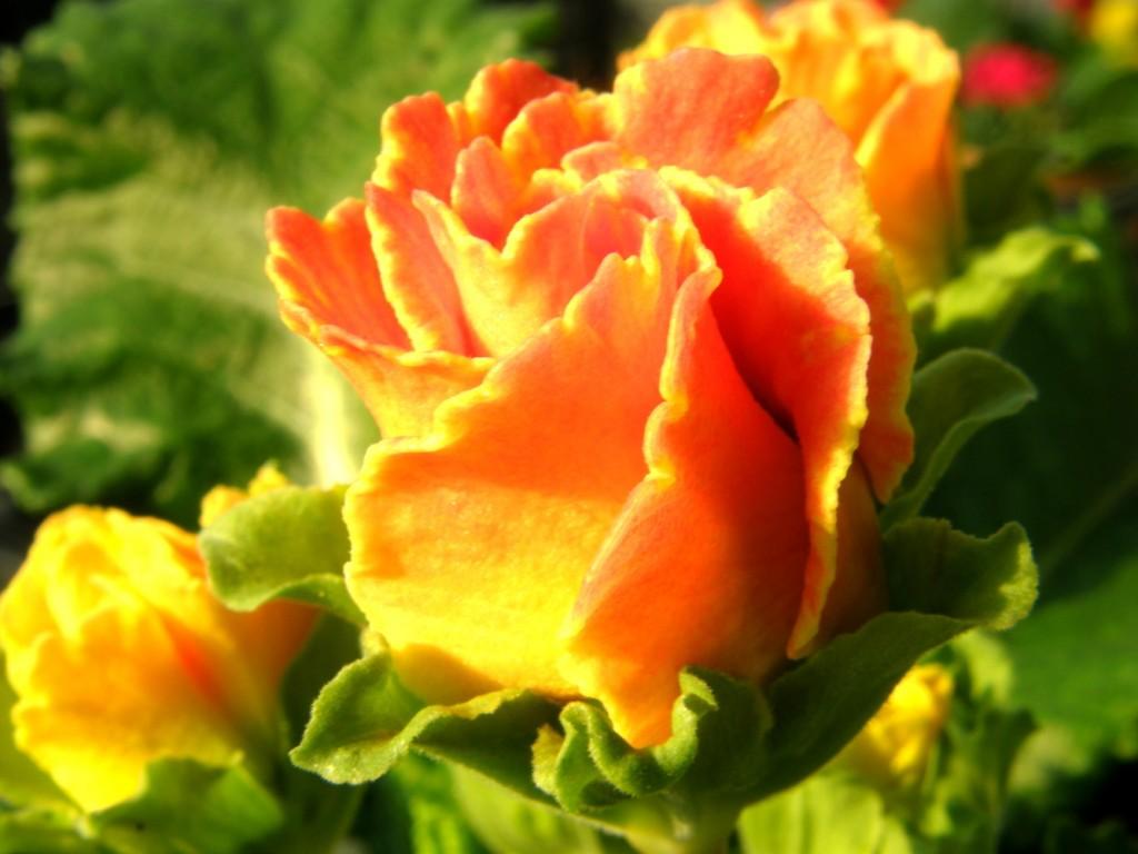 バラ咲きジュリアン3