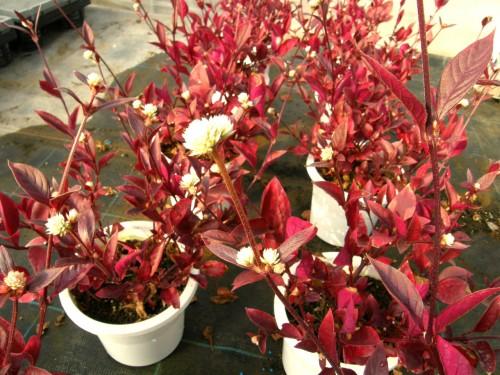 アカバセンニチコウ 花