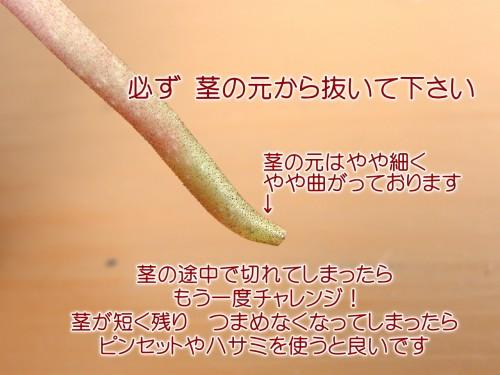 お手入れ シクラメン6-1