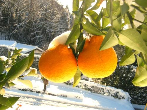 14雪柑橘3