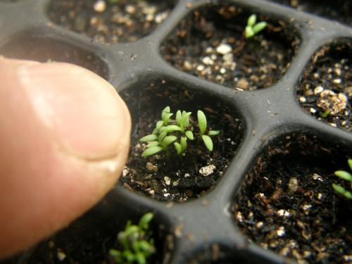 14ジプソフィラ発芽