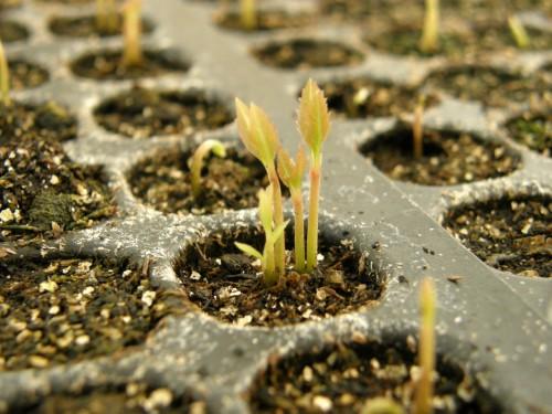 14ヤブコウジ発芽