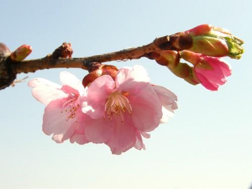 14 3河津桜2
