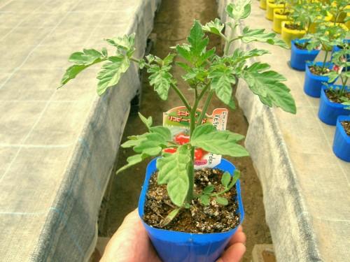 14 4 野菜 トマトリコピーナレッド1