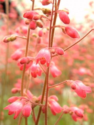 14 4ヒューケラ ピンク