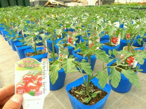 14 4 野菜 トマトリコピーナレッド2