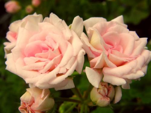14 5 バラ咲 ゼラニウム 桃色