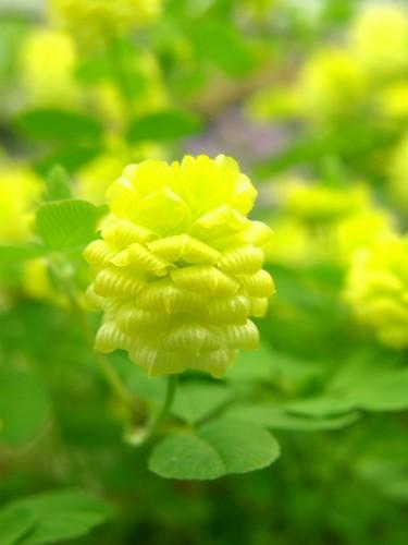 14 5 クローバー 黄色