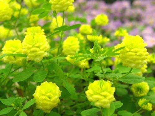 14 5 クローバー 黄色2