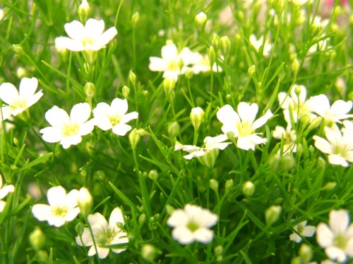 14 5 ジプソフィラ ホワイト