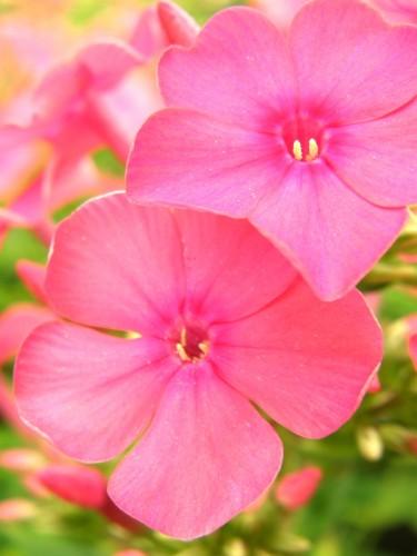 14 6 フロックス ピンク