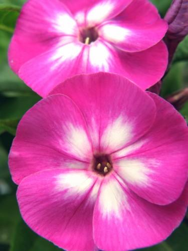 14 6 フロックス 紫