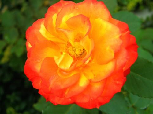 14 9 季節の変わり目 バラ 2