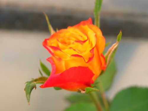 14 9 季節の変わり目 バラ