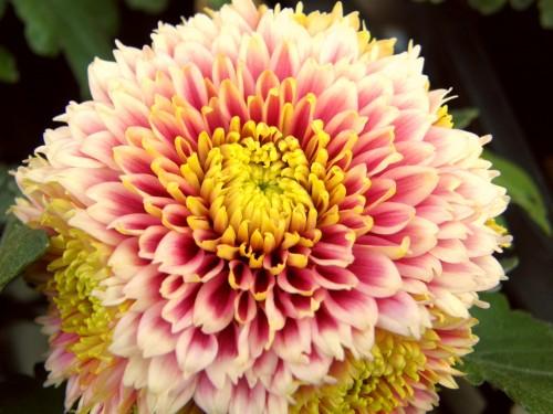 14 10 30 デコラ菊 ピンクホワイト