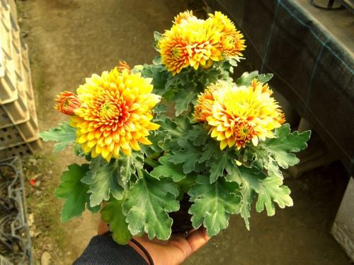 14 10 30 デコラ菊 オレンジイyロー 2