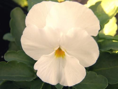 14 10 26 ビオラ ペニーホワイト