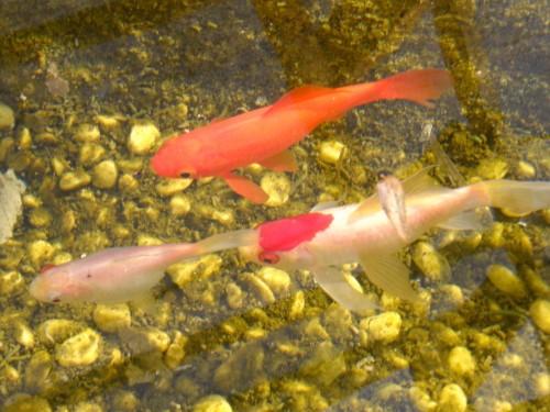 15 1 10 金魚ちゃん 2