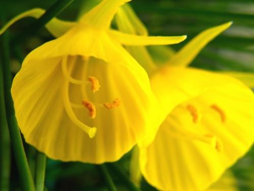 15 4 19 原種水仙