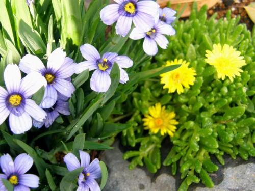 15 5 13 花壇 シシリンチウム コガネノザ