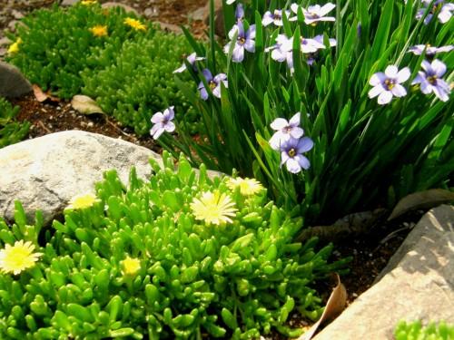 15 5 13 花壇 シシリンチウム コガネノザ 2