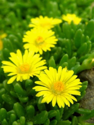 15 5 13 花壇 コガネノザ3