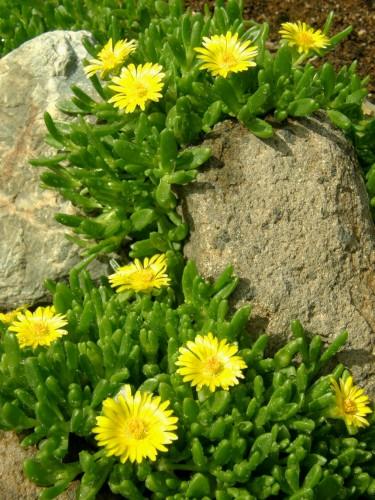 15 5 13 花壇 コガネノザ