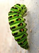 15 6 14 幼虫