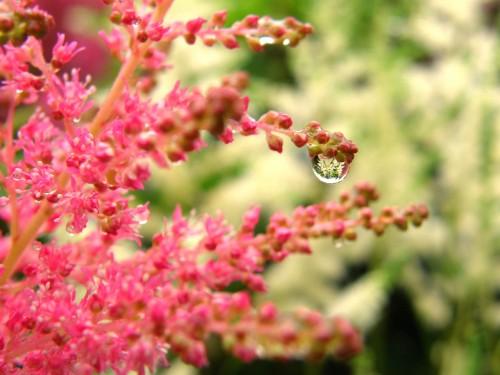 15 6 14 アスチルベ 花壇