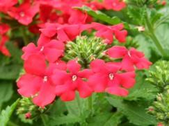 15 6 22 花壇 バーベナ レッド