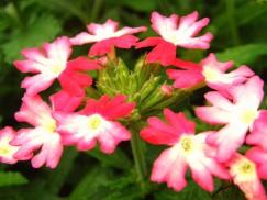 15 6 22 花壇 バーベナ ピンク