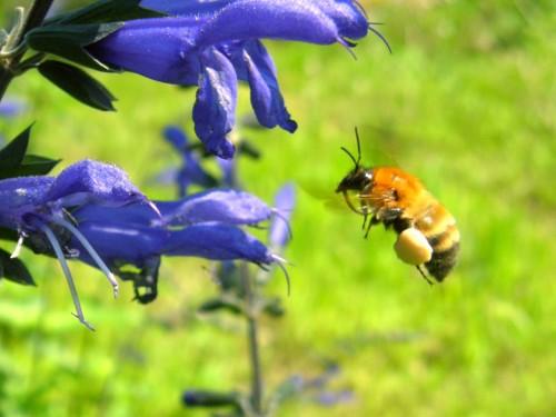 15 6 10 サルビア ガラニチカ 蜂