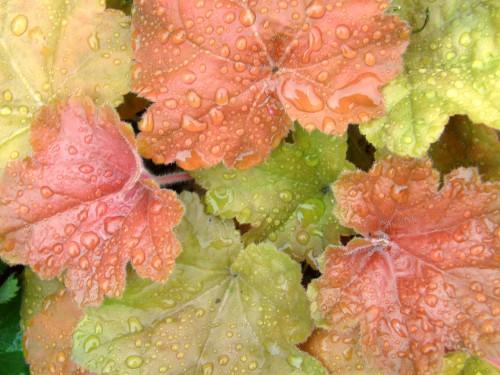 15 6 14 ヒューケラ キャラメル 2 花壇