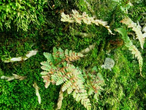 15 7 10 トキワシノブ 岩 苔