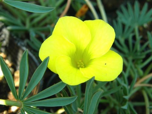 15 10 19 オキザリス 黄色