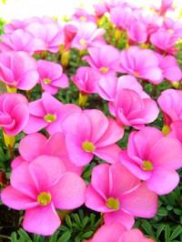 15 11 28 オキザリス 花壇 3