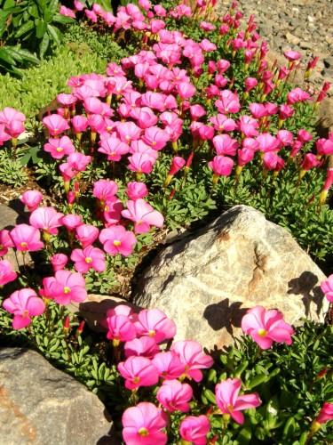 15 11 28 オキザリス 花壇4
