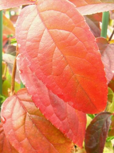 15 12 13 ウツギ 紅葉