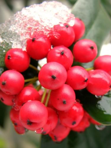 16 1 30 クリスマスホーリー 雪 2