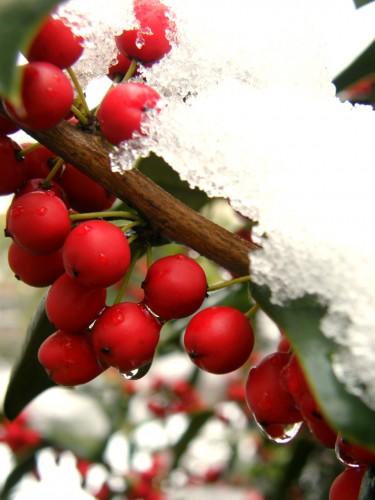 16 1 30 クリスマスホーリー 雪