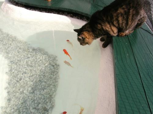 16 2 29 ねこ まーちゃん 池の金魚