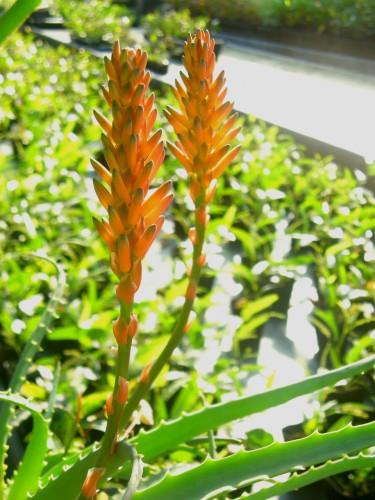 17 1 9 アロエの花 2