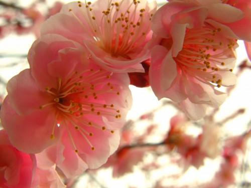 17 3 23 梅の花 11
