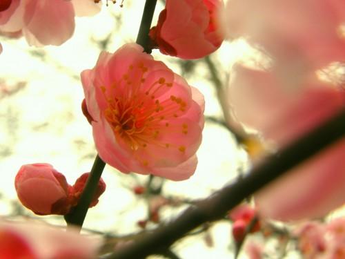 17 3 23 梅の花 3