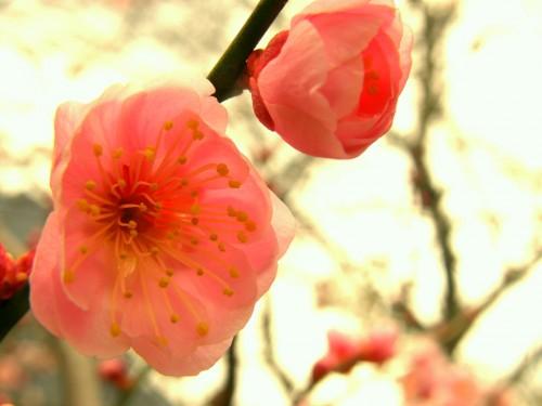 17 3 23 梅の花 6