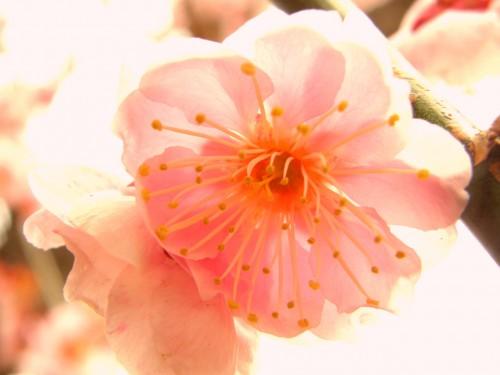 17 3 23 梅の花 5