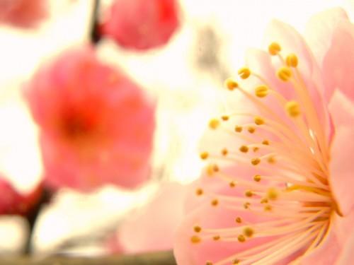 17 3 23 梅の花 7